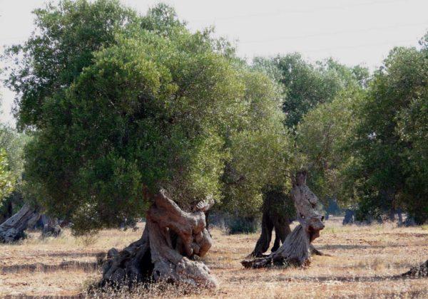 Albero di olivo